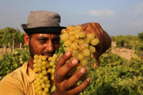 برداشت انگور از تاکستانهای باریکه غزه
