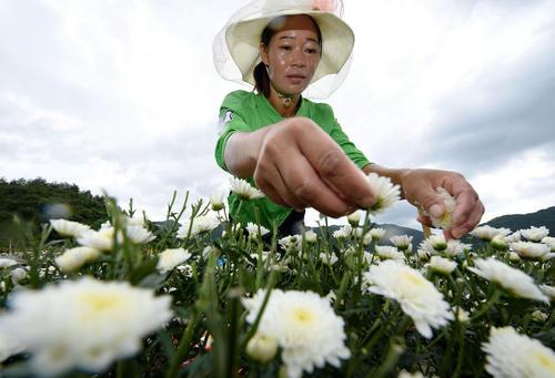 چیدن گل داوودی – چین