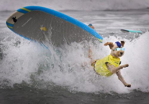مسابقات موج سواری سگها در کالیفرنیا آمریکا