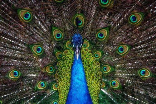 طاووس /عکس روز وب سایت
