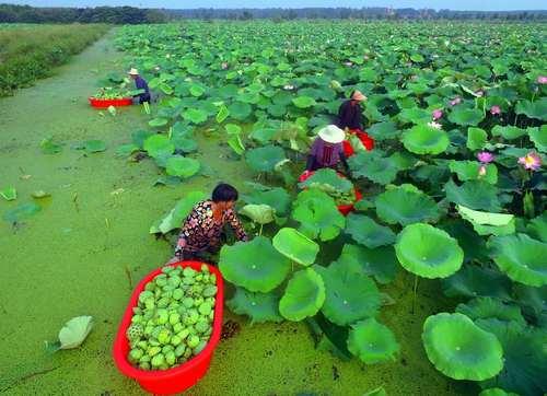 جمع آوری گل نیلوفر آبی در چین/ خبرگزاری فرانسه