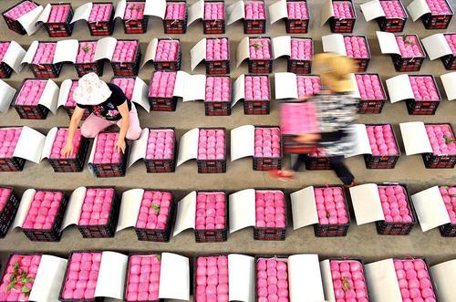 کشاورزان چینی در حال بستهبندی محصول میوه در استان شاندونگ/ شینهوا