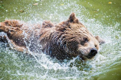 خرس قهوهای پارک وحش