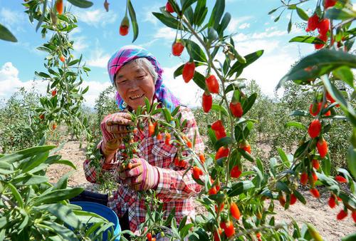 شادمانی باغدار چینی در فصل برداشت محصول
