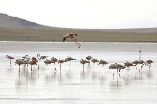 فلامینگوها در دریاچه وان ترکیه