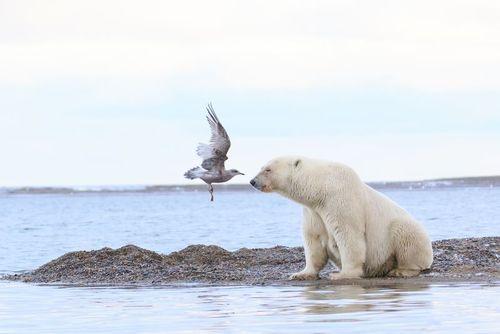 مرغ دریایی در حال فرود در کنار یک خرس قطبی در آلاسکا/ عکس روز وب سایت
