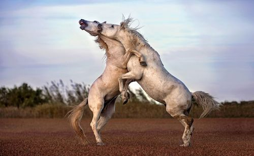 نزاع دو اسب بر سر قلمرو در جنوب فرانسه/ ع روز وب سایت