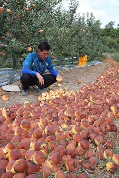 آفتاب سوز شدن سیبهای یک باغ در اثر شدت حرارت و گرما در منطقه