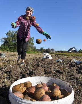 برداشت سیب زمینی از سوی کشاورز بلاروسی