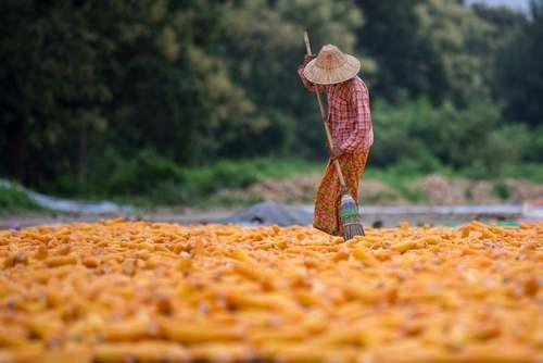 خشک کردن ذرت در میانمار