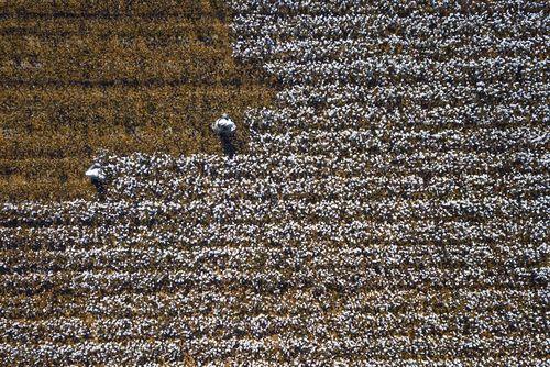 برداشت محصول پنبه در سین کیانگ چین/ عکس روز وب سایت