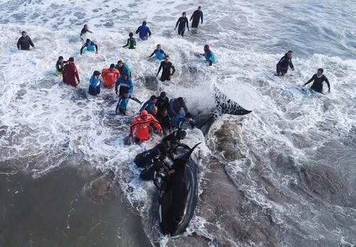 تلاش برای نجات یک وال در ساحل آرژانتین/ رویترز