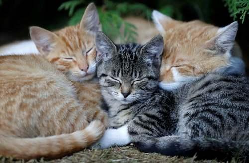 خواب گربهها در روستای کرومپاچ در جمهوری چک/ رویترز