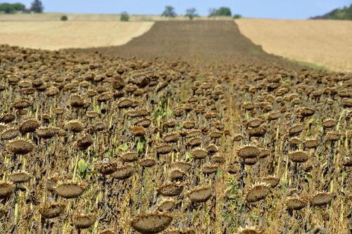 گلهای آفتابگردان خشک شده از گرما و آفتاب شدید در جمهوری چک