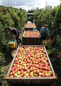 برداشت سیب از باغ / آلمان/ خبرگزاری آلمان