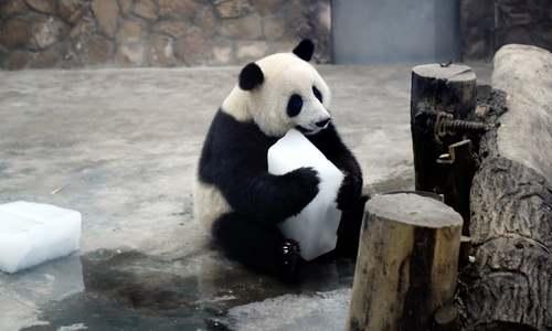 پاندا در حال خوردن قالب یک در گرمای تابستان/ چین