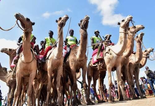 مسابقات سالانه دو 21 کیلومتری شترها در منطقه مارالال در شمال کنیا/ خبرگزاری فرانسه