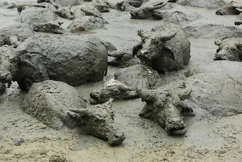خنک شدن بوفالوها در آب گل آلود/ چین