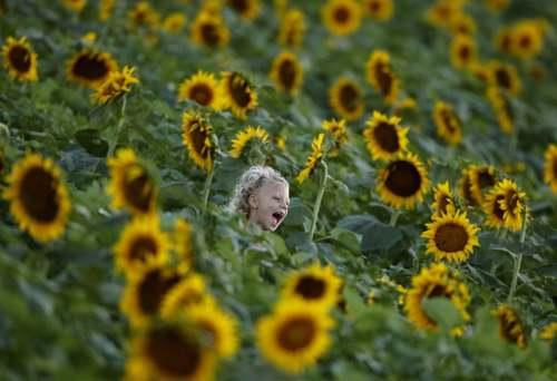 مزرعه گل آفتابگردان در ایالت کانزاس آمریکا/ آسوشیتدپرس