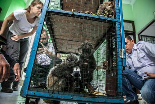 نمایش چهار میمون کمیاب مصادره شده از قاچاقچیان حیوانات برای رسانه ها در سوماترای شمالی اندونزی