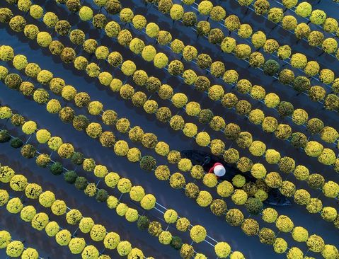 کشاورز ویتنامی در حال جمع آوری گل/ عکس روز وب سایت