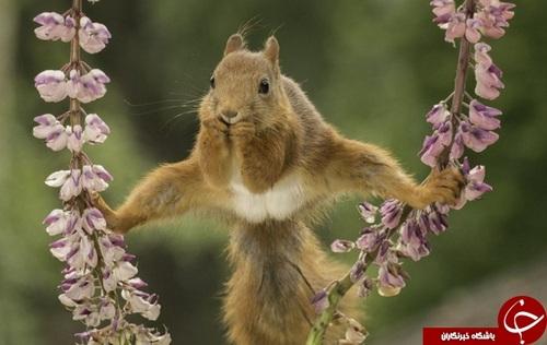 سنجاب قرمز آکروباتباز به زیبایی و با مهار روی دو شاخه گل ایستاده است.