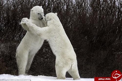 در نگاه اول به نظر میرسد این دو خرس قطبی مشغول رقص با یکدیگر میباشند.