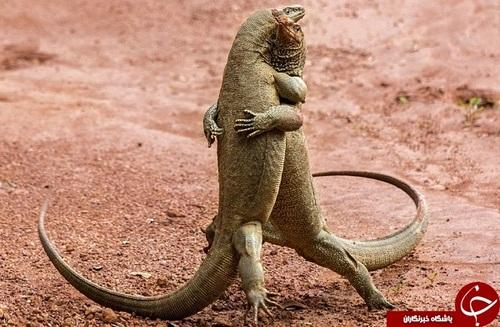 این دو اژدهای کمدو(KOMODO) به گونهای دلنشین یکدیگر را در آغوش گرفتهاند.