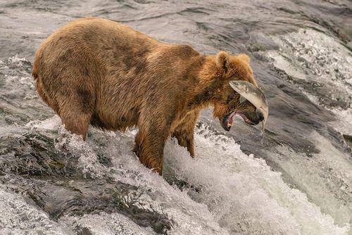 خرس قهوهای در حال شکار ماهی از رودخانه در آلاسکا/ عکس روز وب سایت