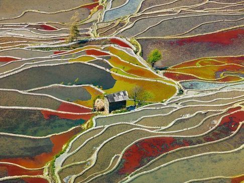شالیزارهای برنج در استان