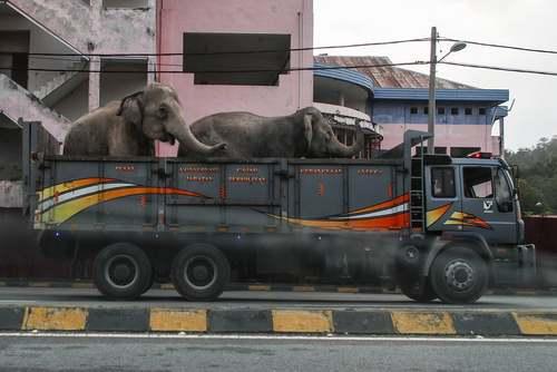 جابجایی فیلها به مکان زندگی جدید در پارکی در مالزی/عکس: EPA