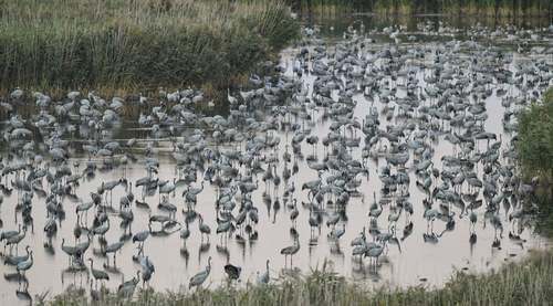 مرغان ماهیخوار مهاجر در رودخانهای در آلمان/ آسوشیتدپرس