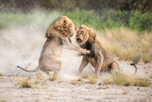 نزاع دو شیر نر بر سر قلمرو در صحرای