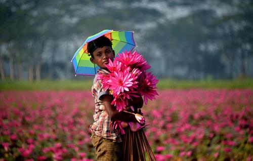 جمعآوری گل – بنگلادش