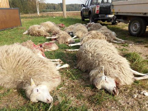 حمله گرگ به یک گله گوسفند/ آلمان/ خبرگزاری آلمان