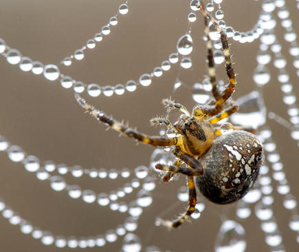 تور نمناک یک عنکبوت / اورگان آمریکا