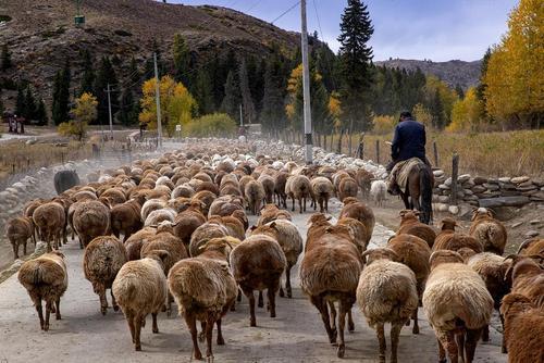 گله گوسفند در منطقه اویغور چین