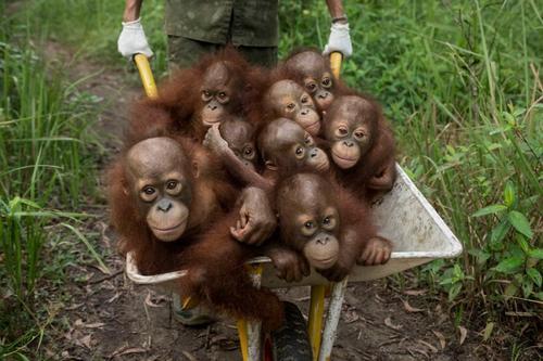 حمل بچه آرانگوتانها در یک مرکز نگهداری و حفاظت در اندونزی/ عکس روز وب سایت