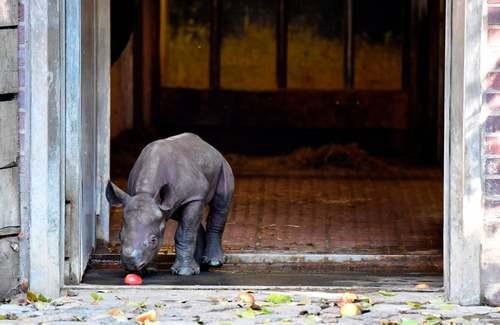 کرگدن نوزاد باغ وحش برلین/ خبرگزاری فرانسه