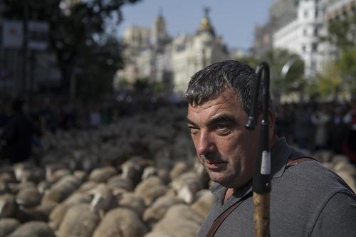 عبور هزاران گوسفند از خیابان های مادرید/ آسوشیتدپرس