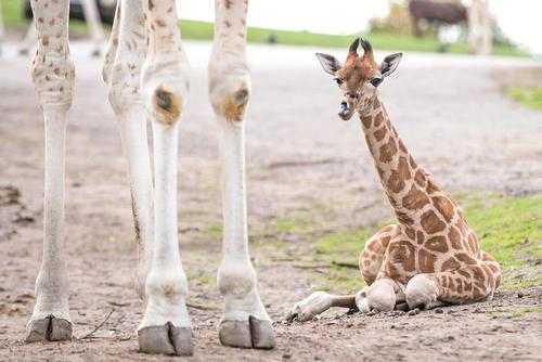 بچه زرافه تازه متولد شده در سافاری پارکی در بریتانیا