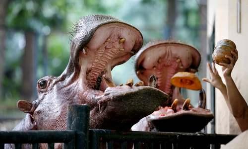 خوراندن کدو تنبل به اسبهای آبی باغوحش شهر هانوی ویتنام/EPA
