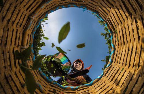 کشاورز چایکار در حال چیدن و جمع کردن برگ سبز چای؛ ترکیه/ عکس روز وب سایت