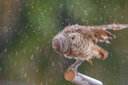 تکان دادن سر یک جغد در باران/ فلوریدا آمریکا/ عکس روز وب سایت