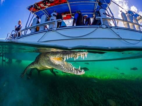 کروکودیل زیر یک قایق تفریحی در سواحل کوبا