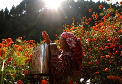 چیدن گل در کاتماندو نپال/ رویترز