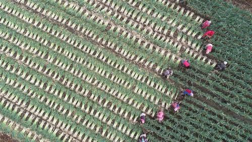 برداشت تره فرنگی از سوی کشاورزان چینی/ شینهوا
