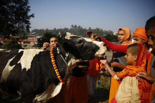 تقدیس یک گاو در جریان جشنوارهای آیینی در معبدی در کاتماندو نپال