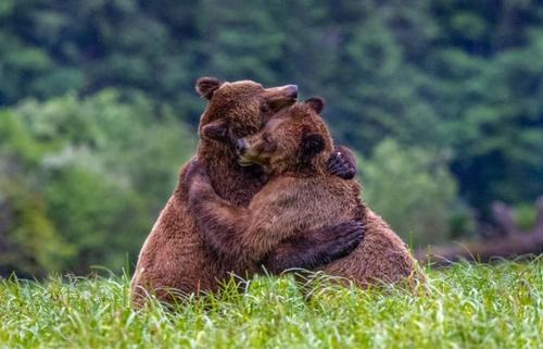 زورآزمایی دو خرس/ عکس روز وب سایت