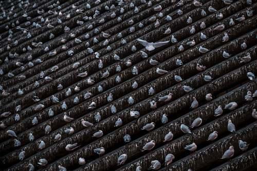نشستن پرندهها روی ستونهای چوبی در رودخانه ولتوا در شهر پراگ جمهوری چک/EPA